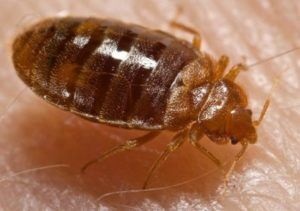 Photo of a bed bug commonly found infesting oilfield housing