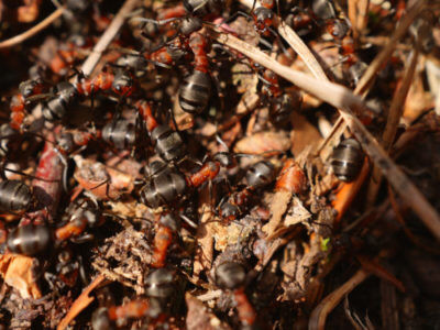 A large infestation of ants crawling on wood debris