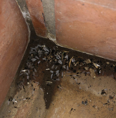 Flying termite or Alate. Often the first sign of a termite infestation.