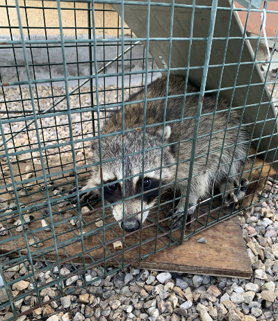 Raccoon trapped on Callaway Drive in North Carlsbad.