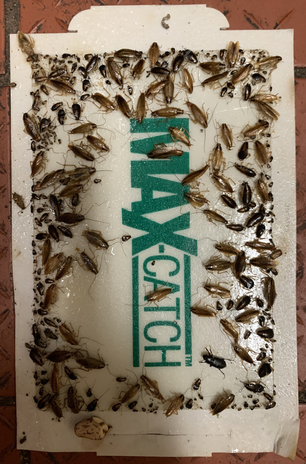 German cockroach commonly found in Carlsbad homes caught and monitored on a sticky trap.